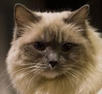 Matilda the Ragdoll Cat Face Close Up NYC