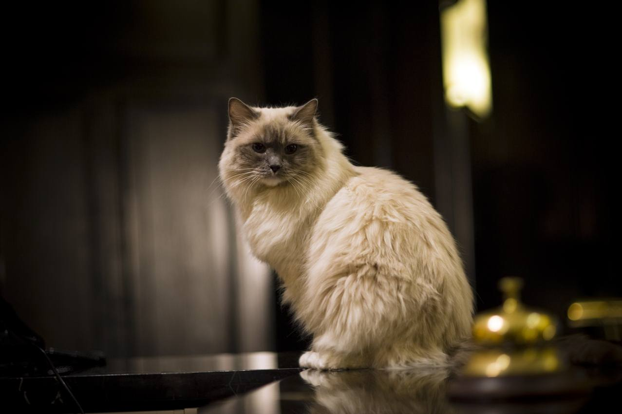 Matilda (II) the Ragdoll cat