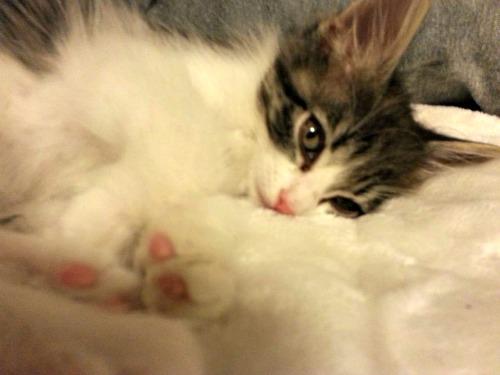 Minnie Mouser the kitten