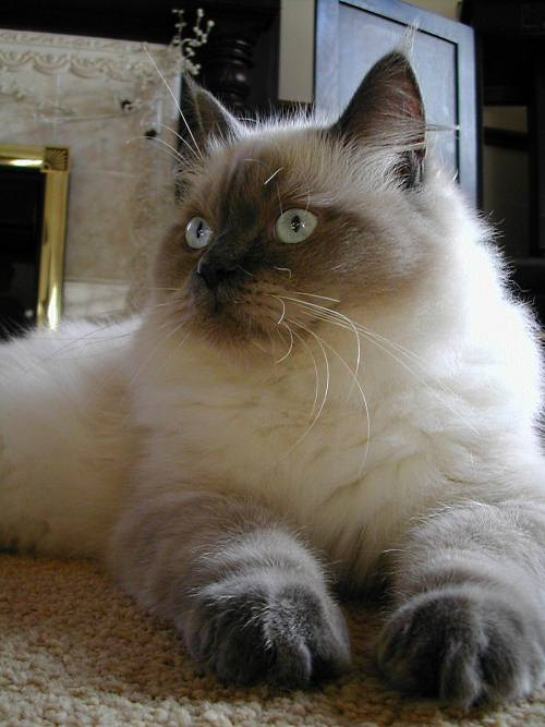 Mork, a blue colorpoint Ragdoll cat