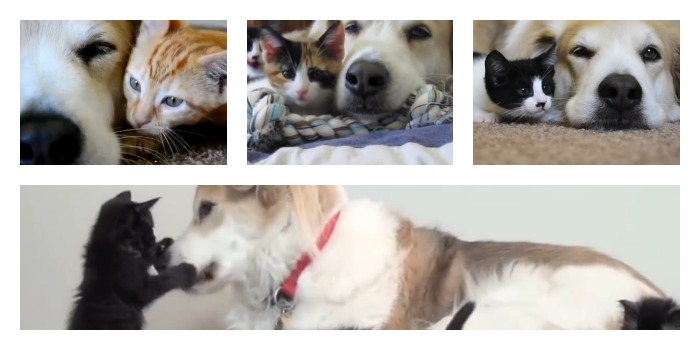 Foster kittens with Murkin the dog collage