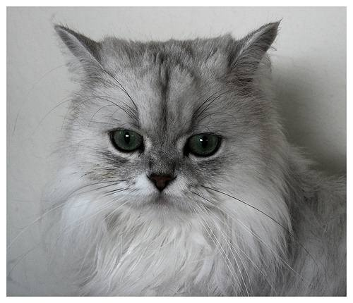 Persian cat face