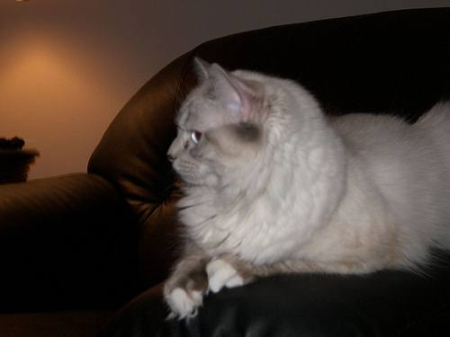 Ragdoll cat with white mittens