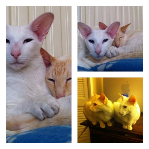 Robin and Radar, white oriental and red point siamese