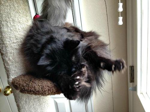 Rocket the black cat