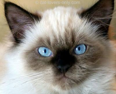 Seal Point Himalayan kitten face