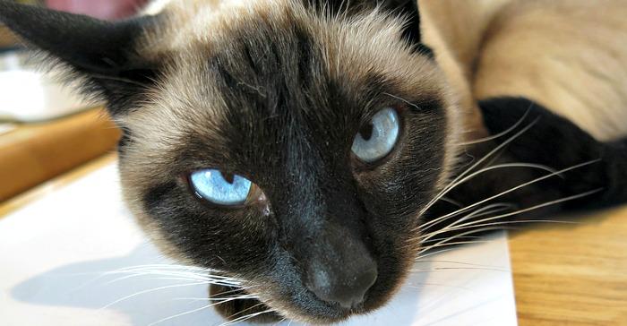 Siamese cat face blue eyes