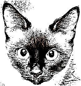 Siamese kitten face