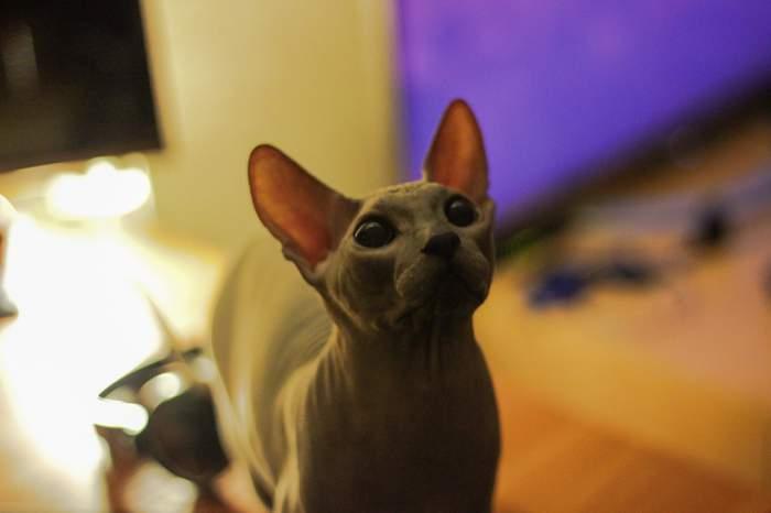 Simba the Sphynx cat