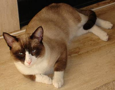 Pic of Snowshoe cat