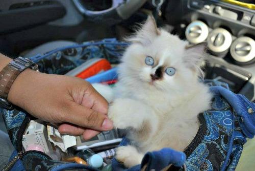 spruwee-ragdoll-kitten