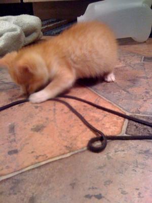 Tigger the Kitten3