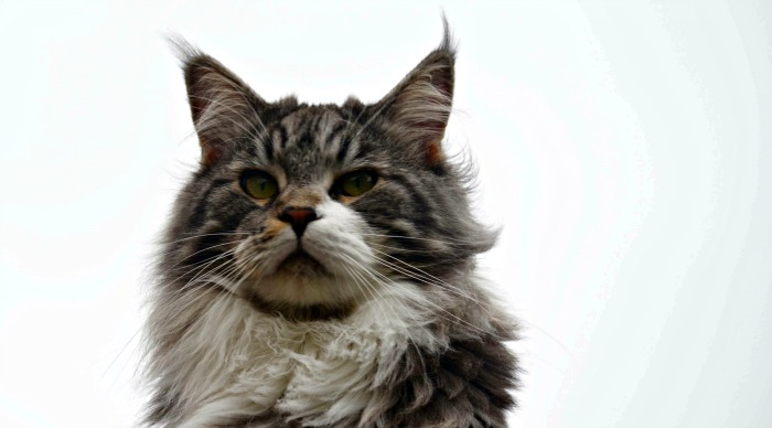 Tabby and white maine coon face