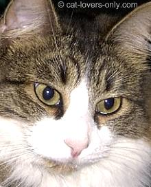 Tabby and white Norwegian Forest Cat
