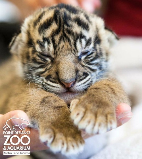 Tiger cub at Point Defiance Zoo