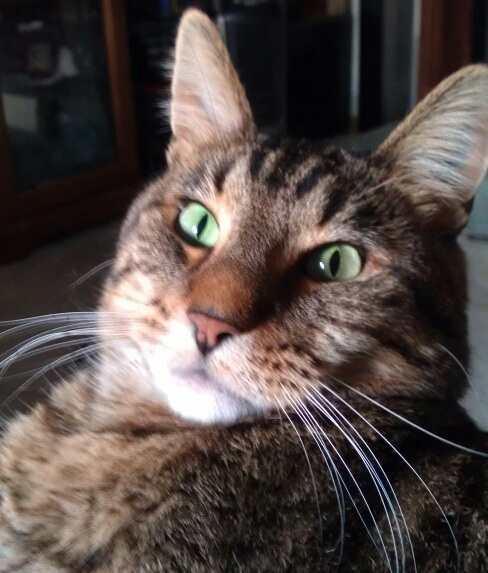 Tiger the rescue tabby
