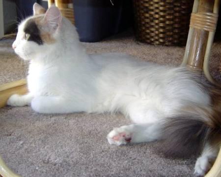 Tortie and White Turkish Van Cat