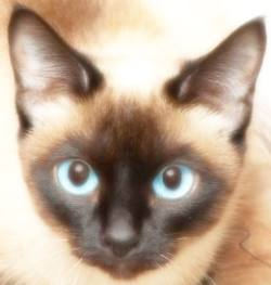 Traditional Siamese Cat Face