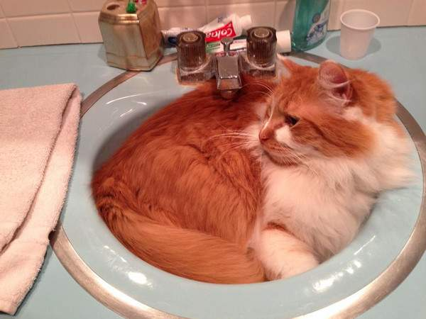 Ziggy the ginger and white in the sink