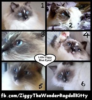 Ziggy the Wonder Ragdoll Kitty