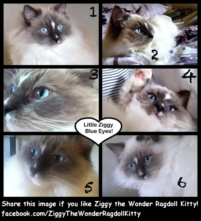 Ziggy the Wonder Ragdoll Kitty